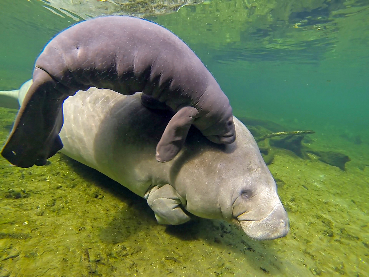 A healthy manatee and calf at Blue Springs State Park