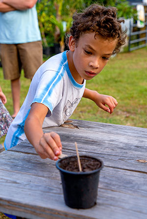John Penn drops a longan seed into his seedling pot to take home