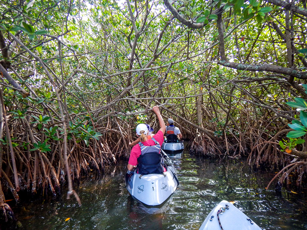 Kayakers explore the mangroves